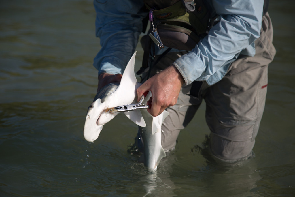 Taking the hook out of a bonnethead shark in the Florida Keys.
